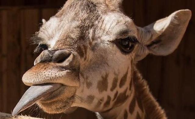 Giraffe-Family-Feeding 2