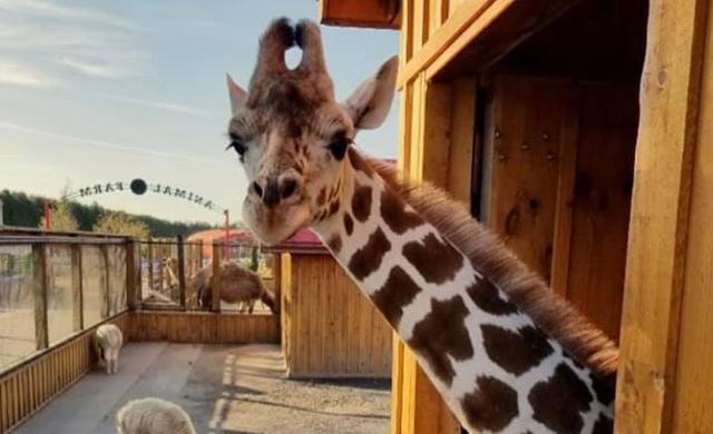 Giraffe-Family-Feeding 3